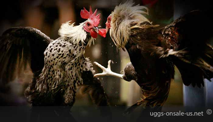 Types-of-Strategies-That-Are-Very-Profitable-For-Online-Cockfighting-Gambling-Players
